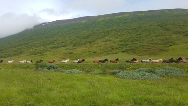 Icelandic Horses run free with Golden Circle with a local