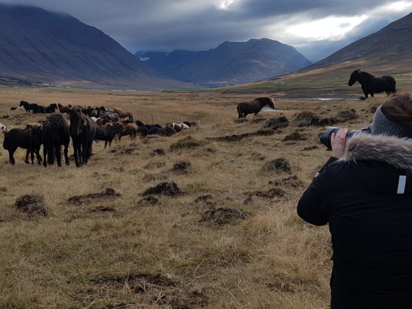 Icelandic horses on all womens tour and solo female travel in Iceland