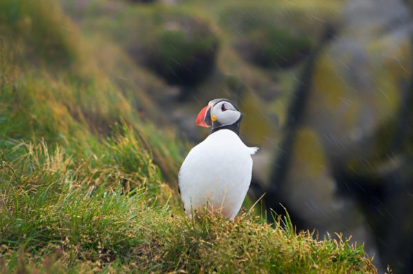 Puffin in Iceland Westfjords
